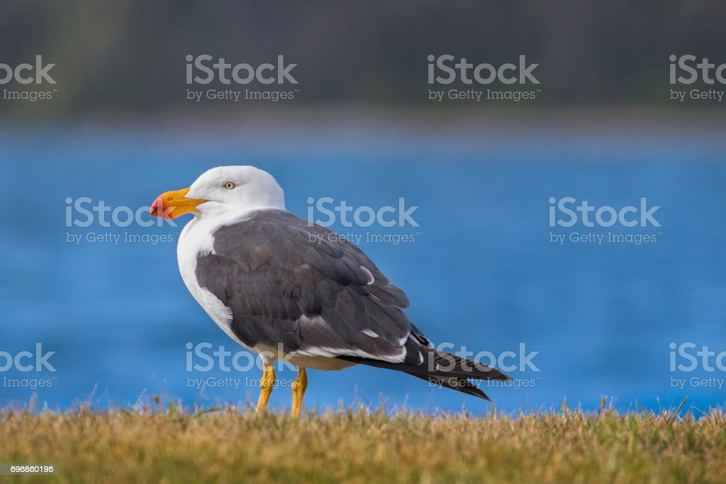 White Pacific Gull with yellow bill and red tip standing near ocean in Tasmania, Australia stock photo