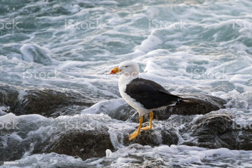 White Pacific Gull with yellow bill and red tip standing on rock in evening, Tasmania, Australia stock photo