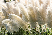 white pampas grass bushes in garden