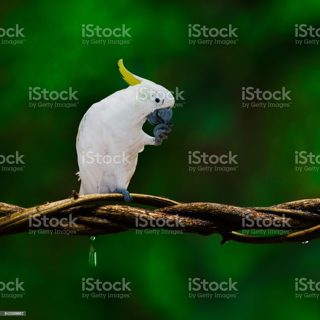 White parrot on branch. stock photo