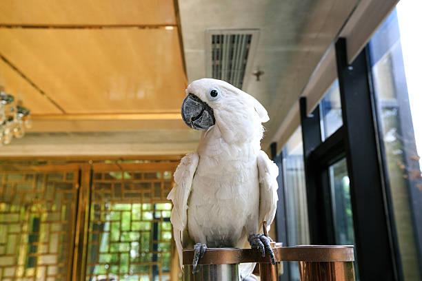 perroquet blanc - animaux familiers exotiques photos et images de collection