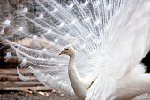 White peacock, background with copy space, full frame horizontal composition
