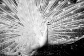 White peacock, black and white, background with copy space, full frame horizontal composition