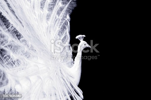 White peacock, isolated on black background with copy space, full frame horizontal composition