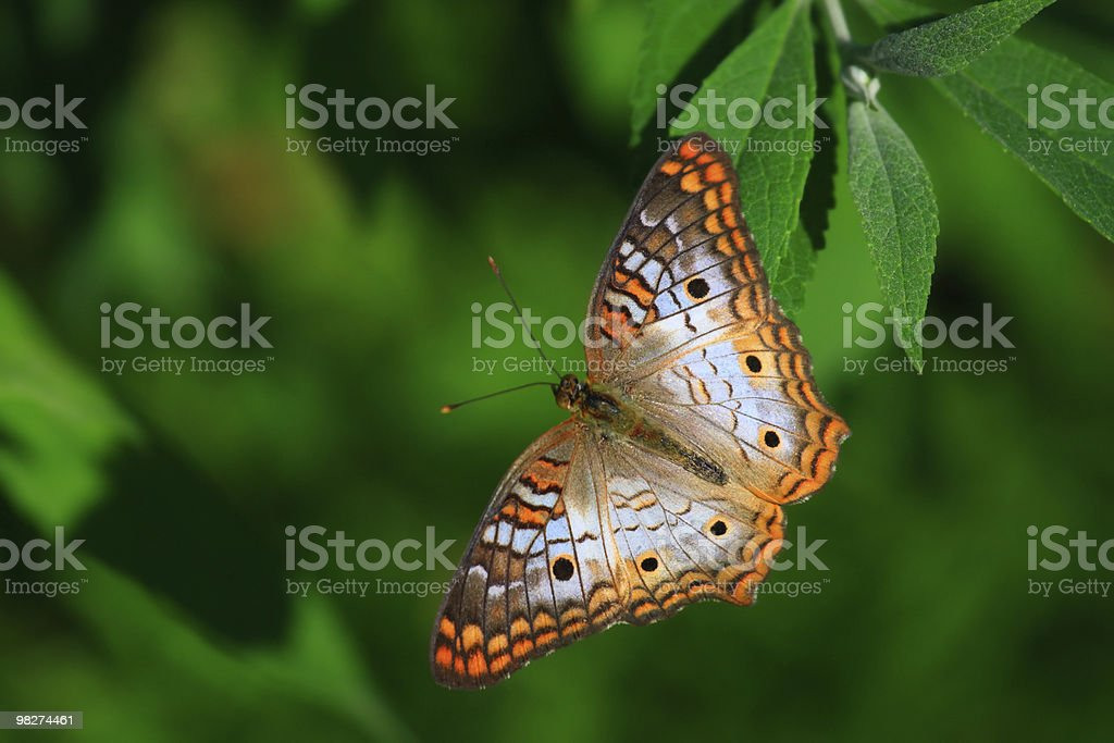 White Peacock Butterfly royalty-free stock photo