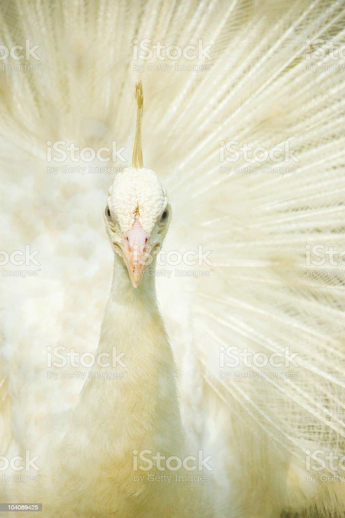 white peacock closeup stock photo