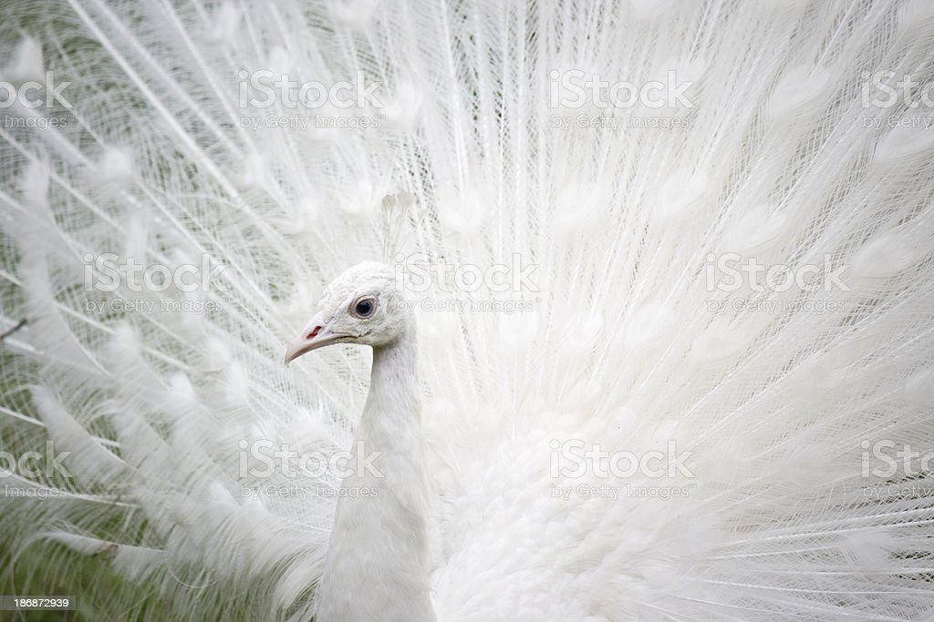 White peacock, close-up stock photo