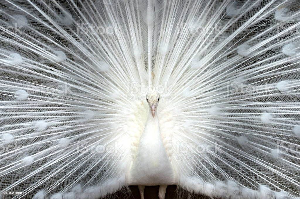 White peacock close-up stock photo