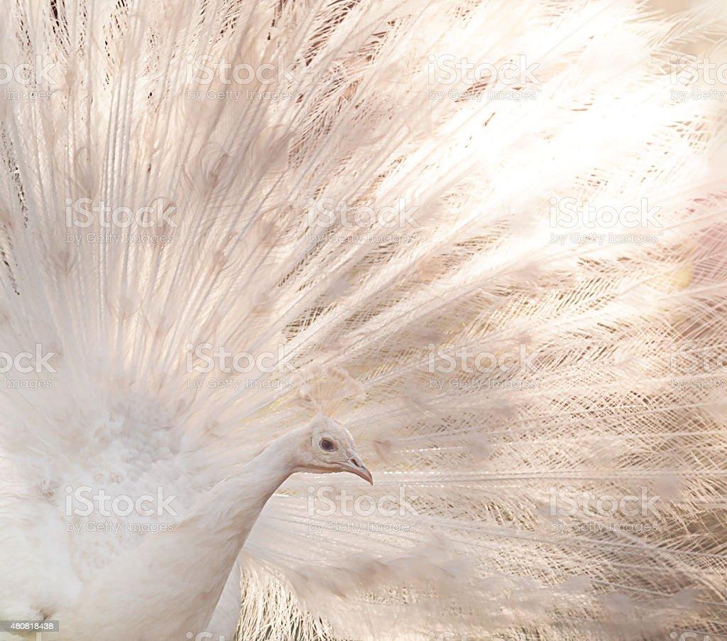 White Peacock Detail stock photo