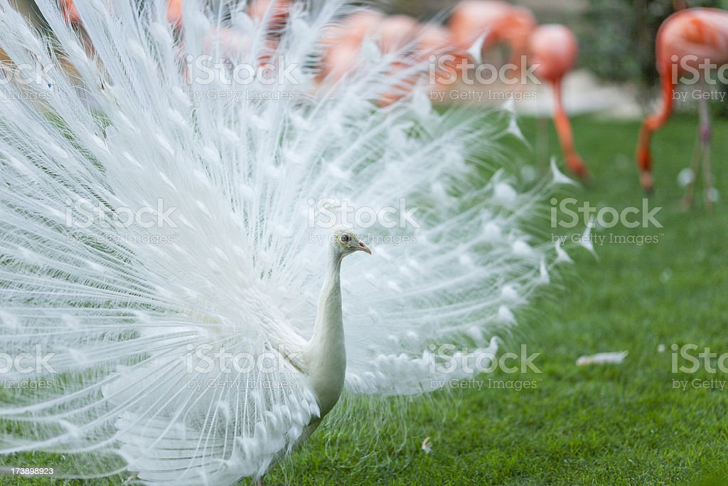 White Peacock Exhibition stock photo