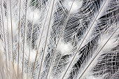 Closeup white peacock feathers, abstract background with copy space, full frame horizontal composition