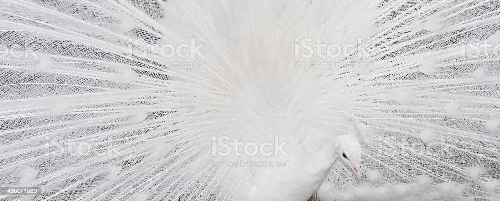 white peacock feathers showing banner stock photo