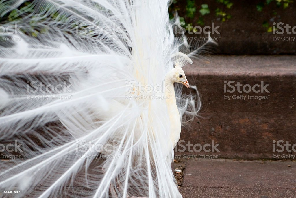 White peacock from side stock photo