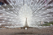 White peacock, front view, background with copy space, full frame horizontal composition