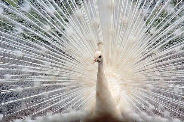 Weißer peacock – Foto