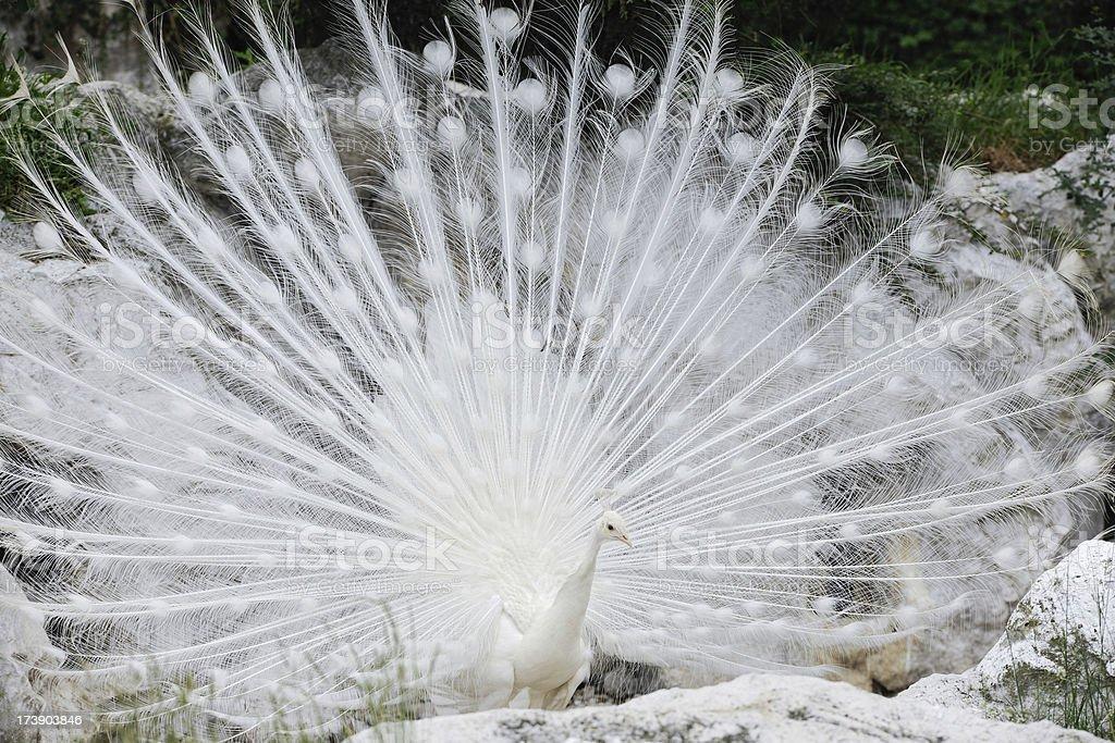 White peacock (XXXL) stock photo
