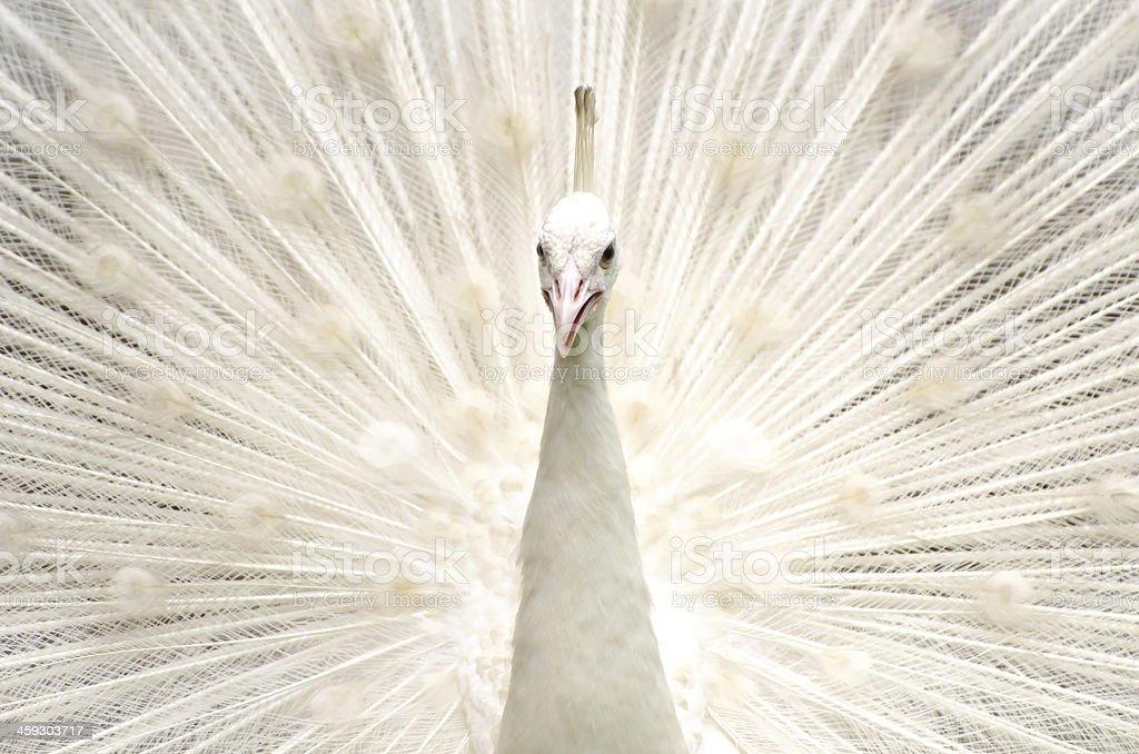 Biały paw – zdjęcie