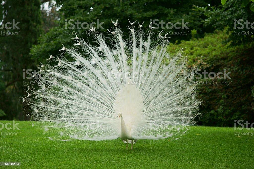 White Peacock White peacock on a grass. Animal Stock Photo