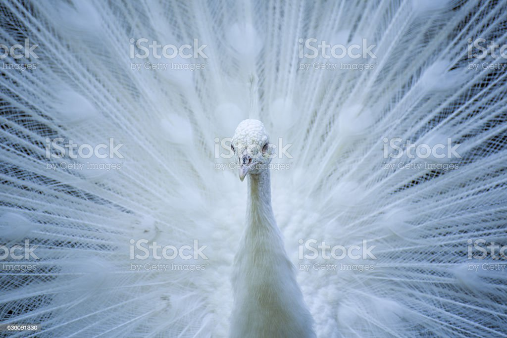 White peacock stock photo