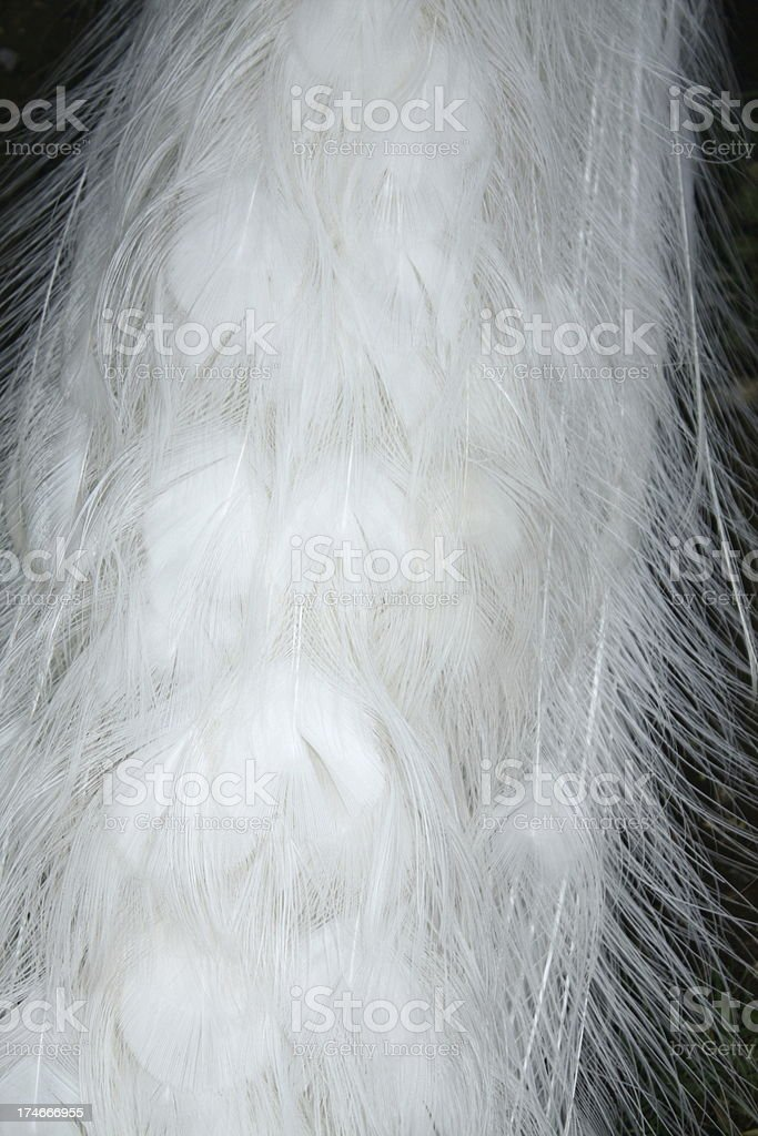 White peacock tail feathers stock photo