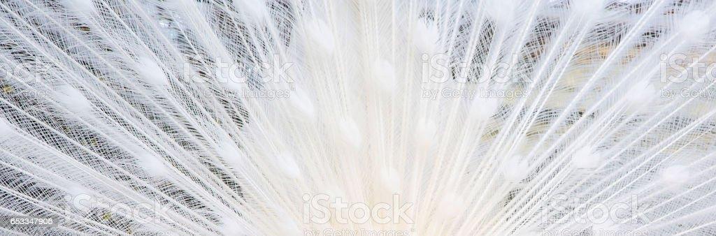 Weißer Pfau Schwanzfedern Textur Hintergrund – Foto