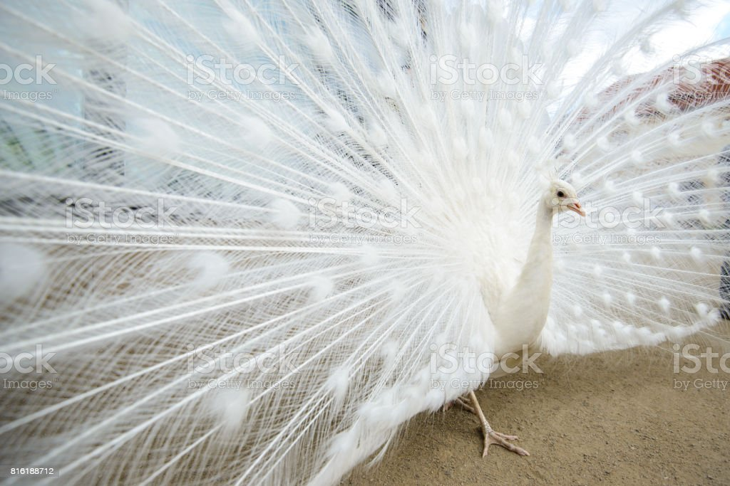 White peacock with tail spread stock photo