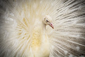 The head, eye and beak of a white peafowl with its plumage extended into soft focus.