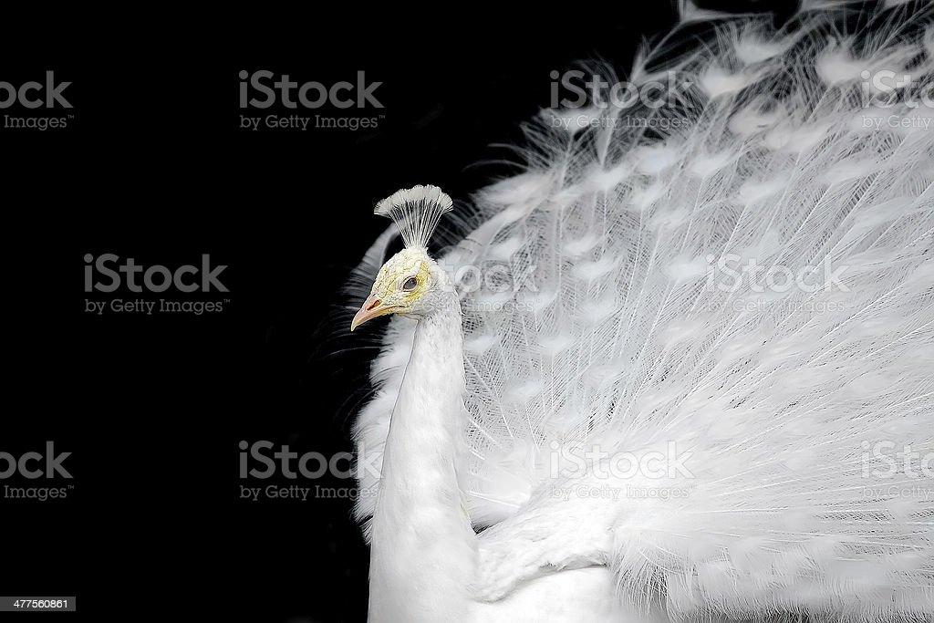 White peafowl stock photo