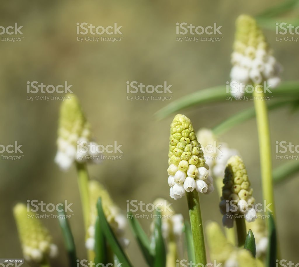 Weiße Perlen stock photo