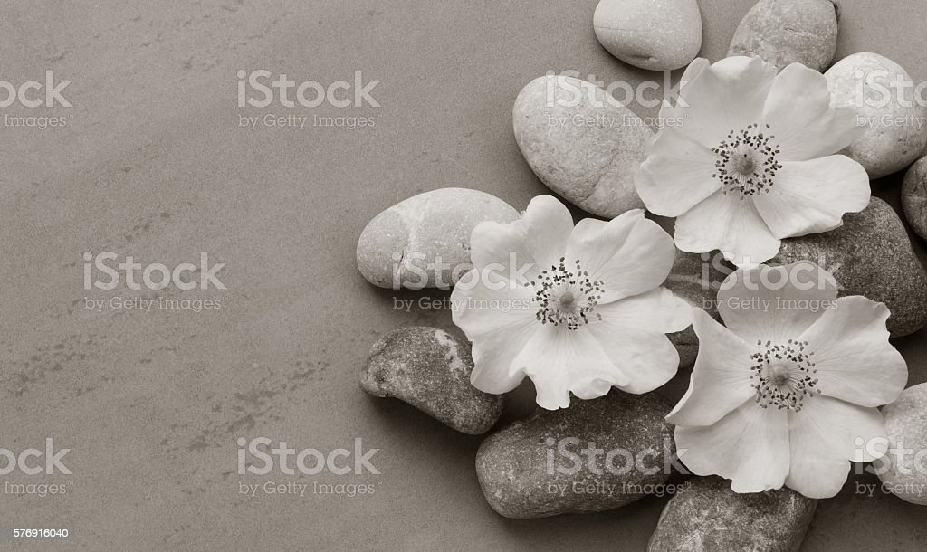 white pebbles on the flower wild rose on gray background stock photo