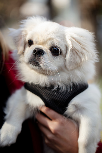 istock white pekinese dog in the owner's lap 1197931185