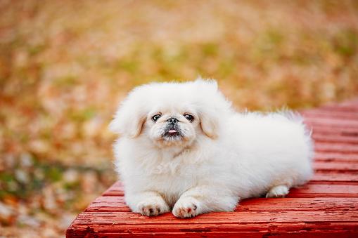 istock White Pekingese Pekinese Peke Whelp Puppy Dog 481502044