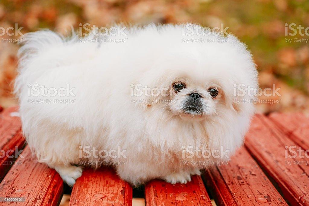 Blanco pekinés Pekinese Peke Whelp cachorro perro - foto de stock