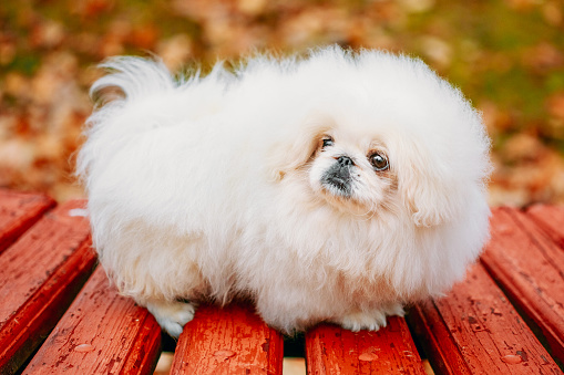 istock White Pekingese Pekinese Peke Whelp Puppy Dog Sitting On Wooden Bench 683617484