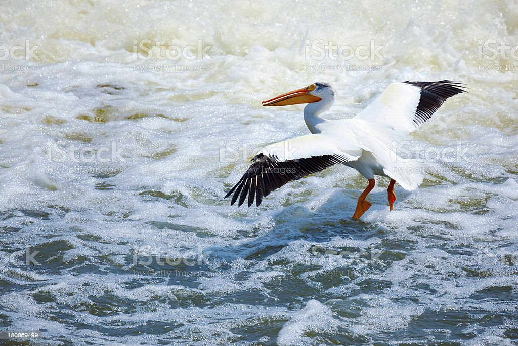White Pelican Fishing, Flying Low Over Turbulent Rapids royalty-free stock photo