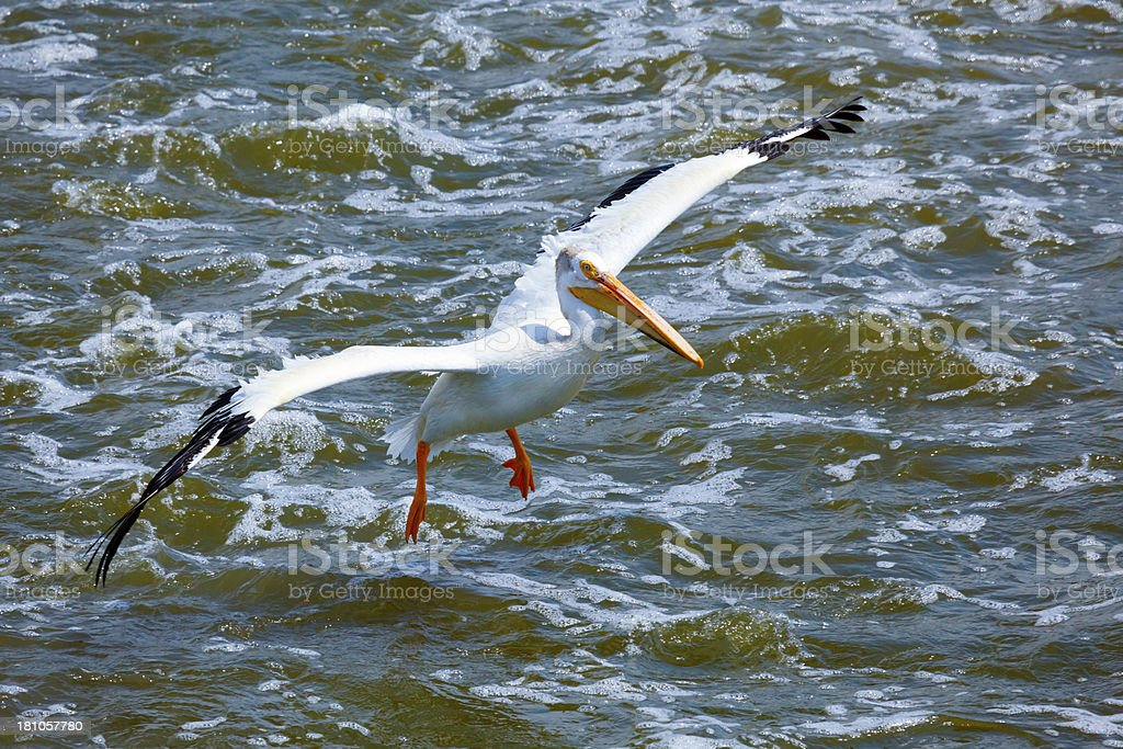 White Pelican Fishing in Rapid Waters royalty-free stock photo