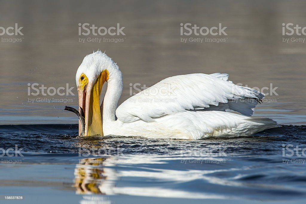 White Pelican Fishing royalty-free stock photo