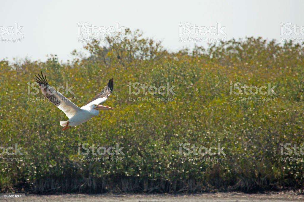 White pelican flying near mangroves at Merritt Island, Florida. stock photo