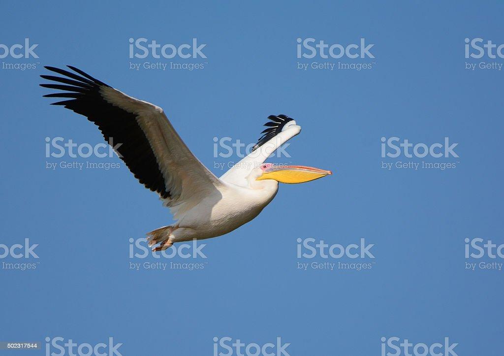 White pelican flying stock photo