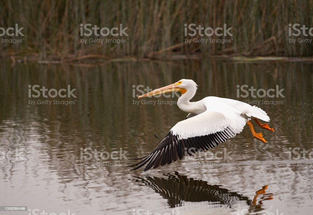 White Pelican Gliding Over San Joaquin Nature Reserve White Pelican Flying Over A Pond Animal Migration Stock Photo
