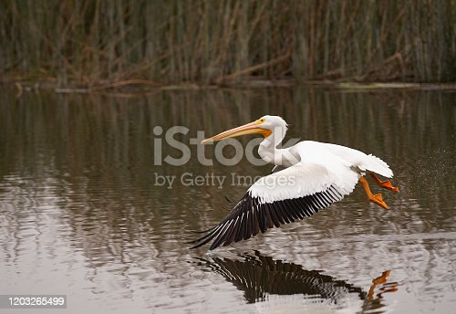 White Pelican Flying Over A Pond