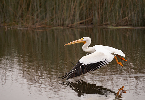 White Pelican Gliding Over San Joaquin Nature Reserve Stock Photo - Download Image Now