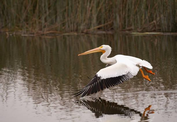 white pelican gliding over san joaquin nature reserve - пеликан стоковые фото и изображения