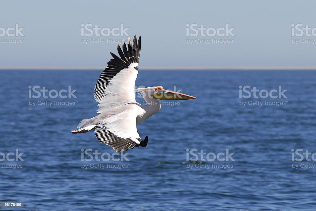 White pelican in flight over ocean royalty-free stock photo