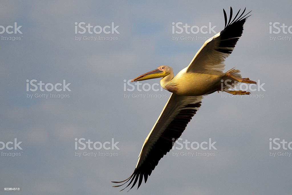 White Pelican in flight royalty-free stock photo