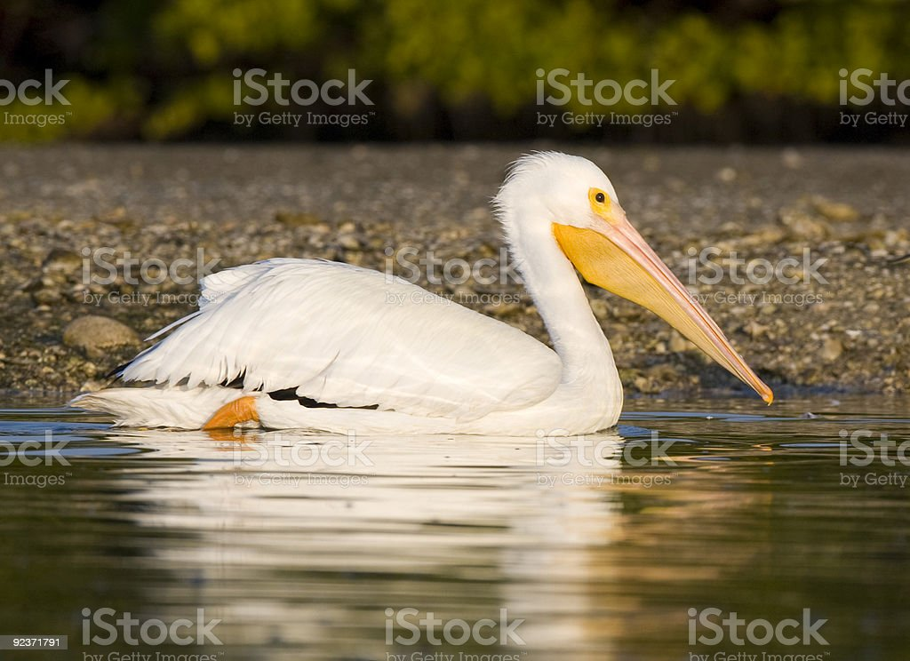 White Pelican in the water near shore royalty-free stock photo