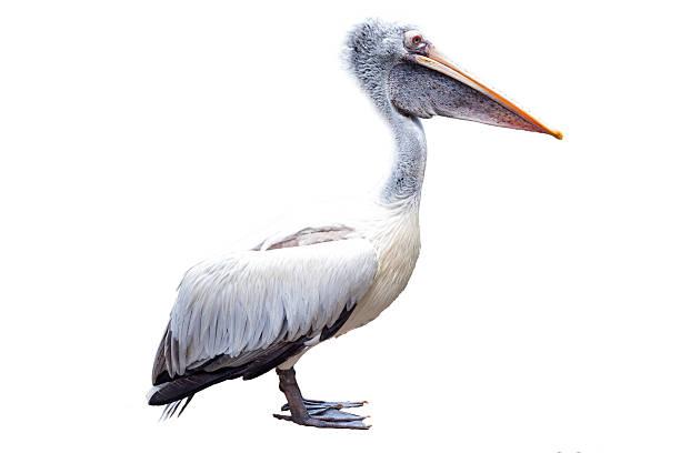 белый пеликан изолированные на белом фоне - пеликан стоковые фото и изображения