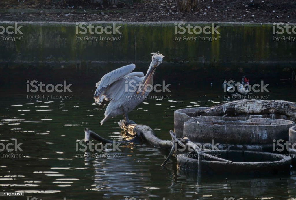 White Pelican or Pelecanus onocrotalus alight on trunk in lake and splash water around stock photo