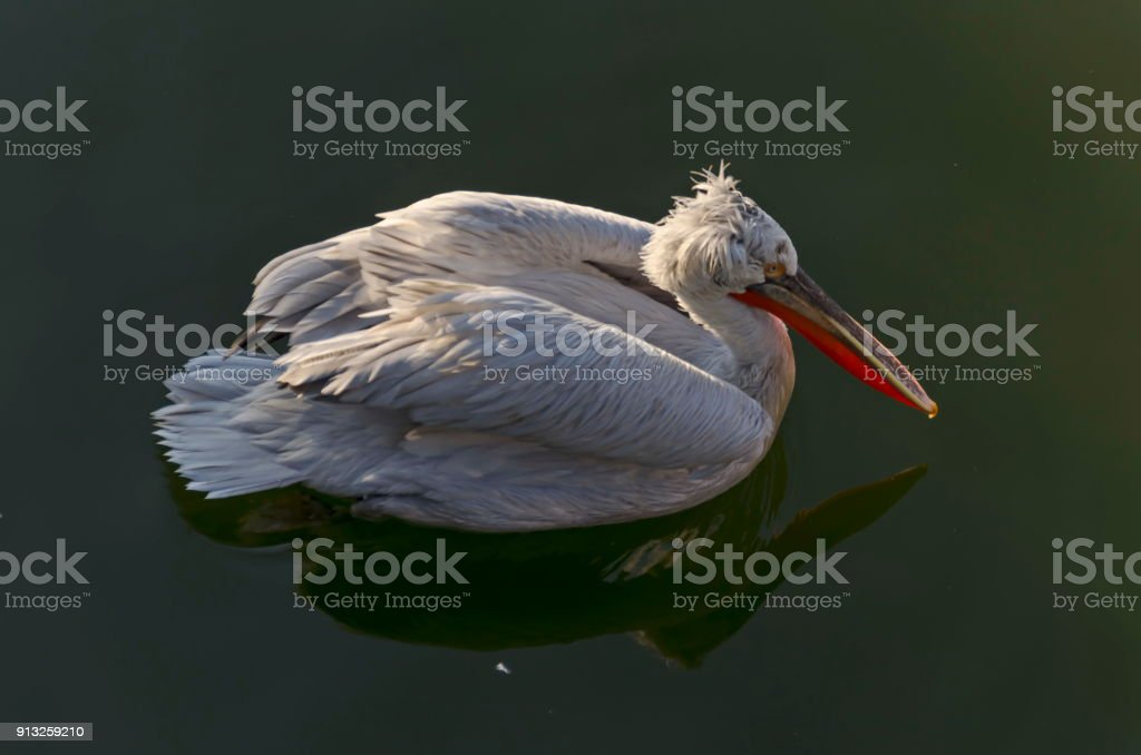 White Pelican or Pelecanus onocrotalus swimming or floating on water in lake and look for fish stock photo