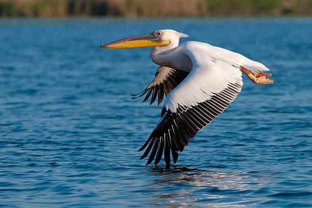 белый пеликан - пеликан стоковые фото и изображения